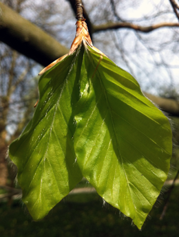 Leafing out and climate change