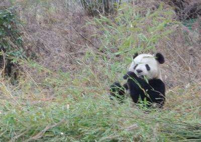 Livestock found ganging up on pandas at the bamboo buffet