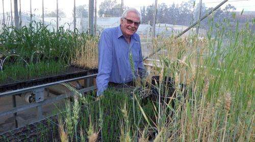 Lower chlorophyll to boost wheat yields