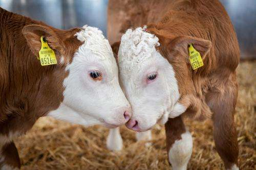 Lymphatic fluid used for first time to detect bovine paratuberculosis