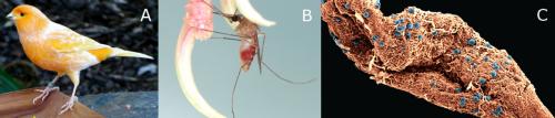 Malaria parasites sense and react to mosquito presence to increase transmission