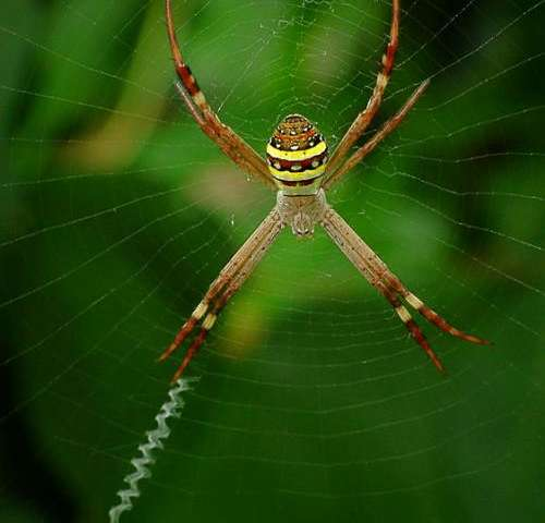 Male St. Andrew's Cross spiders sniff web pheromones to determine suitability of female mates