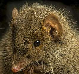 Mammologist discovers new, highly promiscuous mouse-like marsupial