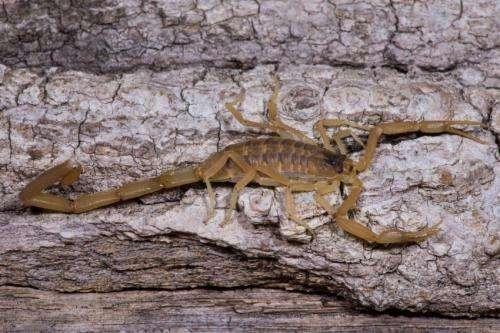 Meek male and fighting female scorpions