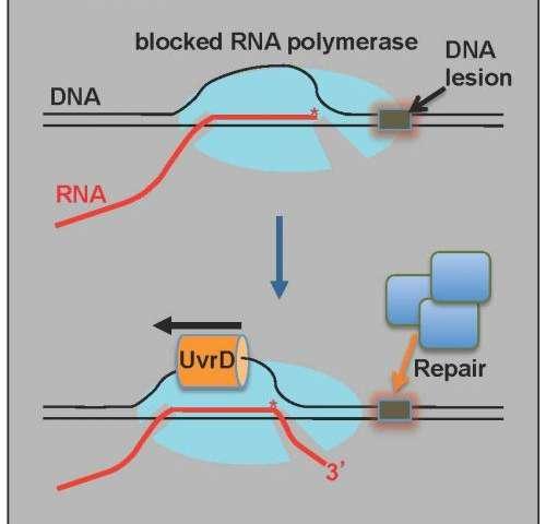 Molecular engines star in new model of DNA repair