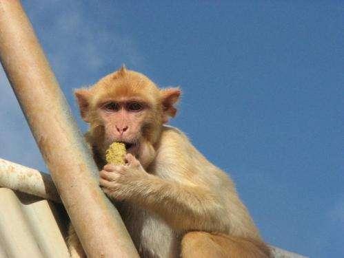 Monkeys also believe in winning streaks, study shows