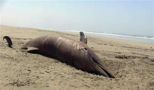 More than 400 dead dolphins on north Peru coast