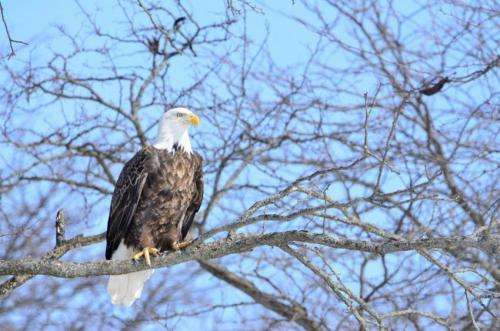Most Iowa bald eagles are not exposed to high levels of lead, according to new research