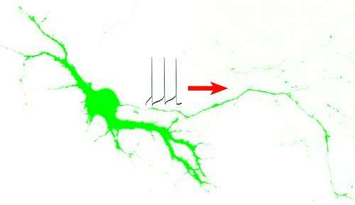 Mystery solved: How nerve impulse generators get where they need to go