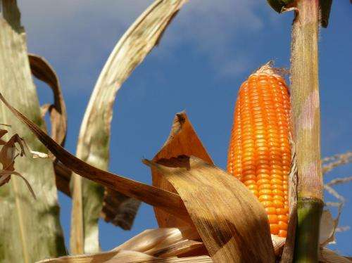 Natural gene selection can produce orange corn rich in provitamin A for Africa, US