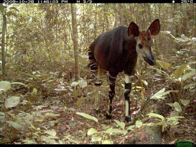 Near-extinct forest giraffe shows resilience in a war zone