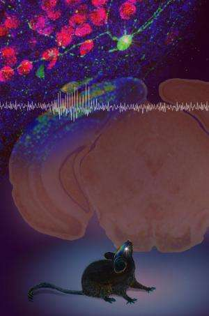 Neural transplant reduces absence epilepsy seizures in mice