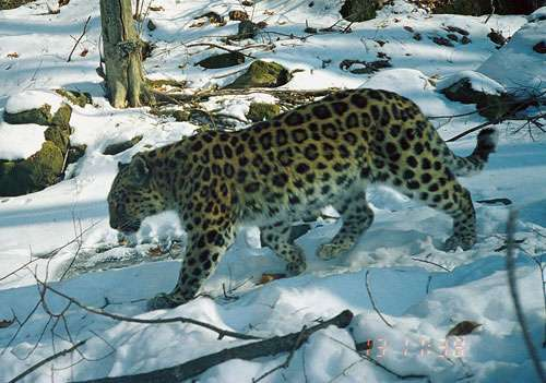 New footage reveals family life of elusive Amur leopard