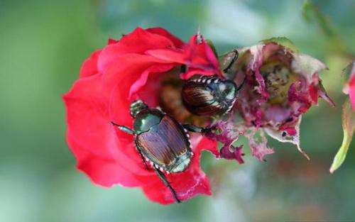 New guide available on Japanese beetles in Montana