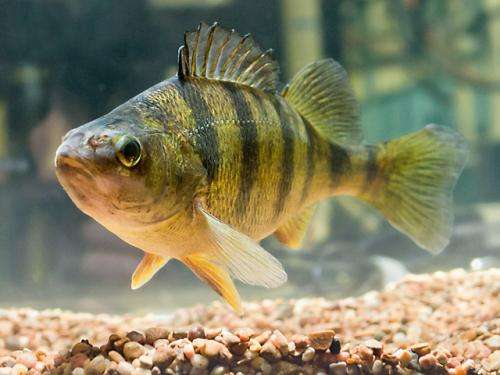 New Method Distinguishes Yellow Perch Females from Males