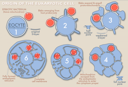 New theory suggests alternate path led to rise of the eukaryotic cell