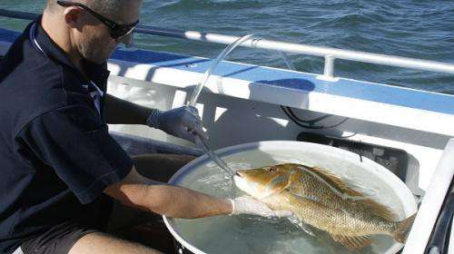 Ningaloo snapper branches out of sanctuary zone
