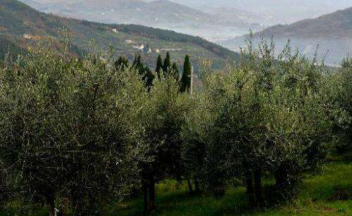 Olive trees at the Buonamici Farm in Fiesole, Tuscany, on December 2, 2014