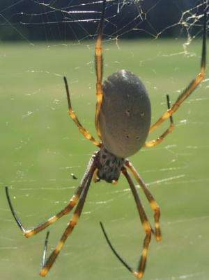 Orb-weaving spiders living in urban areas may be larger