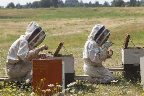 "Oregon State University bee researchers collect ""nurse bees"" from hives outside on August 5, 2014 in Corvallis, Oregon"