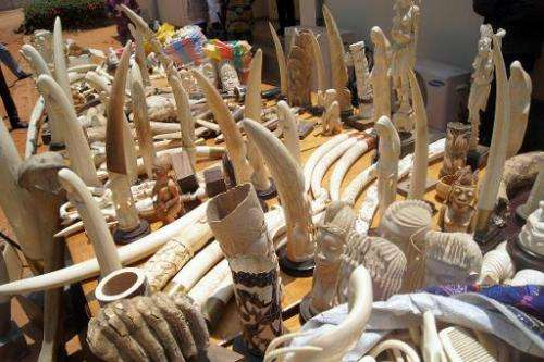 Part of the 700kg of ivory seized on August 6, 2013 by the Togolese police, as they are exhibited for journalists in Lome on Aug