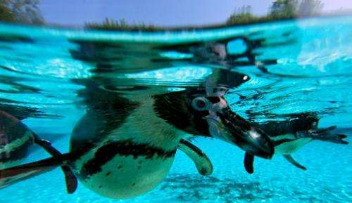 Penguins are photographed swimming in their enclosure at London Zoo on July 17, 2013