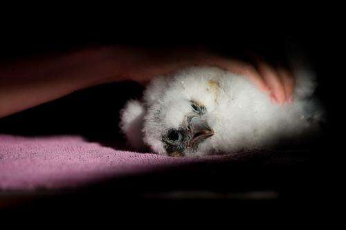 Peregrine chicks lost in recent inclement weather