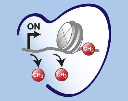 pharmacologists identify switches that play an important role for the cardiac gene program