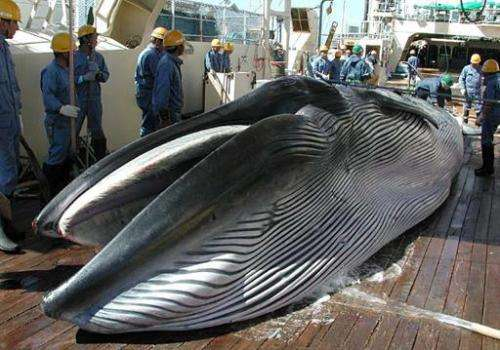 Photo taken by Japan's Institute of Cetacean Research in 2013 shows a Bryde's whale on the deck of a whaling ship in the Western