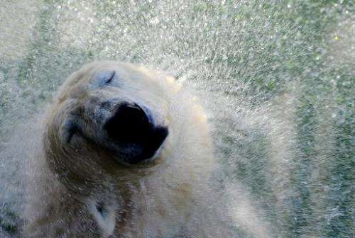 Polar bear Uslada shakes itself dry in their enclosure at the St. Petersburg Zoo, on April 24, 2014