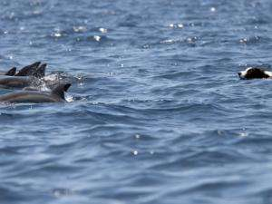 Policy action urgently needed to protect Hawaii's dolphins