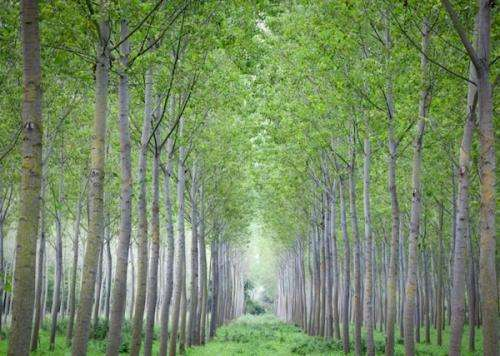 Poplars designed for deconstruction: A major boon to biofuels