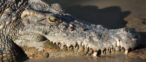 Positive steps toward wild Siamese crocodile conservation