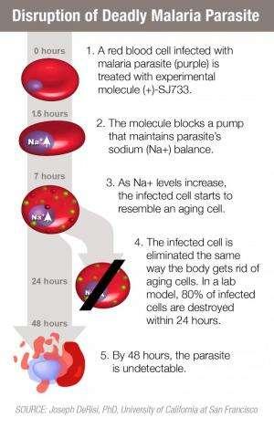 Promising compound rapidly eliminates malaria parasite