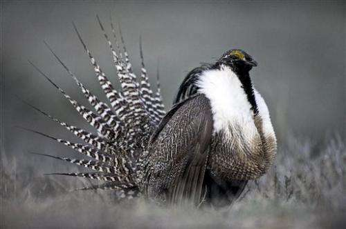 Protections blocked, but sage grouse work goes on