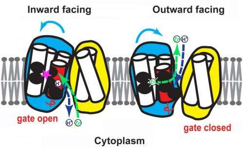 Protons power protein portal to push zinc out of cells