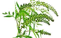 Ragweed to become more widespread in Northern Europe as the climate changes