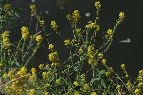 Rapid evolution aids spread of exotic plant species