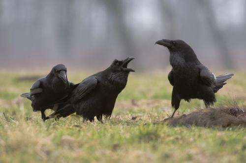 Ravens have social abilities previously only seen in humans