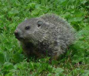 Research sheds light on groundhog's shadowy behavior
