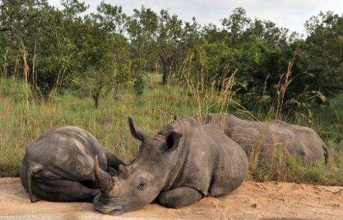 Rhinoceros rest in Kruger National Park near Nelspruit, South Africa, February 6, 2013