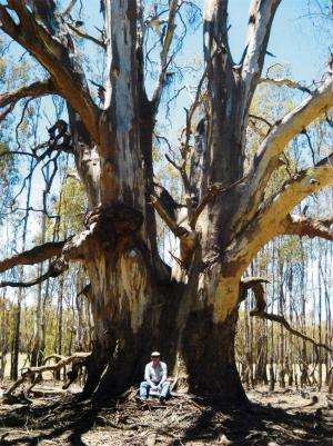 River red gum - more than just a tree