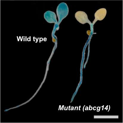 Roots to shoots: Hormone transport in plants deciphered