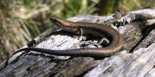 Lizards help us find out which came first: the baby or theegg?