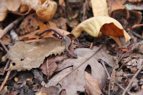 Salamanders are a more abundant food source in forest ecosystems than previously thought