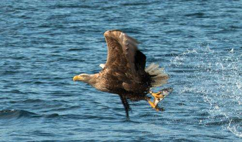 Satellite system makes eagle spotting a doddle in Scotland