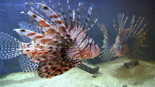 Scientists tether lionfish to Cayman reefs