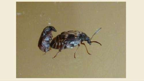 Seed beetle 'kicks' sign of antagonistic coadaptation