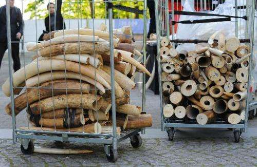 Seized ivory stacked prior to its destruction at the Royal Museum for Central Africa in Brussels, on April 9, 2014