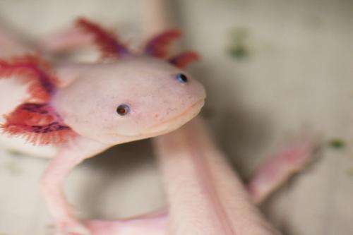 Sequencing the genome of salamanders
